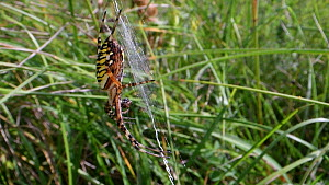 Female Wasp spider (Argiope bruennichi) eating fly prey on her web, Wiltshire, England, UK, July.  -  Nick Upton