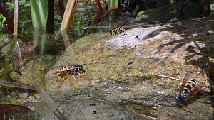 Three Common wasps (Vespula vulgaris) drinking from a garden pond, then taking off, Wiltshire, England, UK, July.  -  Nick Upton