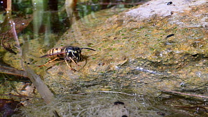 Common wasp (Vespula vulgaris) drinking from a garden pond, then taking off, Wiltshire, England, UK, July.  -  Nick Upton