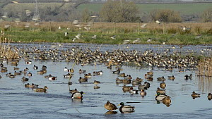 Mixed flock of Common teal (Anas crecca) and European wigeon (Anas penelope) landing on partly frozen flooded marshes, before taking off again, Greylake Nature Reserve, Somerset Levels, England, UK, D...  -  Nick Upton