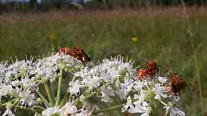 Common red soldier beetles (Rhagonycha fulva) mating while nectar feeding on Common hogweed flowers (Heracleum sphondylium), Wiltshire, England, UK, July.  -  Nick Upton