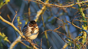Male Reed bunting (Emberiza schoeniclus) perched in a Blackthorn bush (Prunus spinosa) at dusk, before flying off, Otmoor, Oxfordshire, England, UK, January.  -  Nick Upton