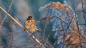 Female Reed bunting (Emberiza schoeniclus) perched on a Common reed (Phragmites australis) at dusk, Otmoor, Oxfordshire, England, UK, January.  -  Nick Upton