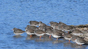 Group of Common redshanks (Tringa totanus) resting, preening and foraging on a shingle spit, Gloucestershire, England, UK, February.  -  Nick Upton