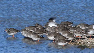Mixed flock of Common redshank (Tringa totanus) and Ruff (Philomachus pugnax) resting and preening on a shingle spit, Gloucestershire, England, UK, February.  -  Nick Upton