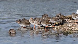 Common redshank (Tringa totanus) bathing in a shallow freshwater pool, with three courting Ruff (Philomachus pugnax) nearby, Gloucestershire, England, UK, February.  -  Nick Upton