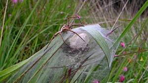 Female Nursery web spider (Pisaura mirabilis) guarding her nest and recently hatched young, Dorset, England, UK, July.  -  Nick Upton