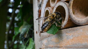 Slow motion shot of a female Willoughby's leafcutter bee (Megachile willughbiella) flying to its nest in an insect hotel with a circular section of leaf, Wiltshire, England, UK, July.  -  Nick Upton