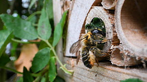 Female Willoughby's leafcutter bee (Megachile willughbiella) sealing the entrance to its nest in an insect hotel, Wiltshire, England, UK, July.  -  Nick Upton