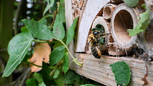 Female Willoughby's leafcutter bee (Megachile willughbiella) flying to its nest in an insect hotel and adjusting the seal, Wiltshire, England, UK, July.  -  Nick Upton