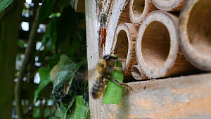Female Willoughby's leafcutter bee (Megachile willughbiella) flying to its nest in an insect hotel, carrying a piece of leaf, Wiltshire, England, UK, July.  -  Nick Upton