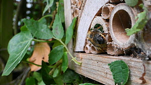 Female Willoughby's leafcutter bee (Megachile willughbiella) sealing its nest in an insect hotel with a leaf, Wiltshire, England, UK, July.  -  Nick Upton