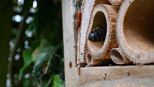 Female Willoughby's leafcutter bee (Megachile willughbiella) exiting her nest in an insect hotel, Wiltshire, England, UK, July.  -  Nick Upton