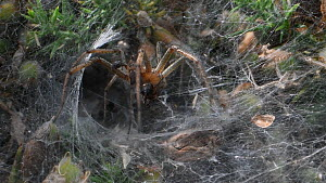 Male Labyrinth spider (Agelena labyrinthica) with Wood ant (Formica rufa) prey, returning to its nest, Dorset, England, UK, July.  -  Nick Upton