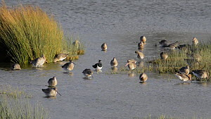Mixed flock of Black-tailed godwits (Limosa limosa), Northern lapwings (Vanellus vanellus) and a Shoveler (Anas clypeata) landing, foraging and bathing in a shallow freshwater lake, Gloucestershire, E...  -  Nick Upton