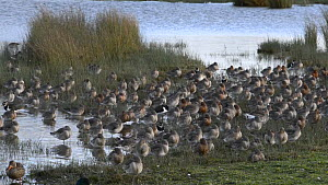 Large flock of Black-tailed godwits (Limosa limosa) and Northern lapwings (Vanellus vanellus) taking off from their roost on the margins of a shallow lake, Gloucestershire, England, UK, February.  -  Nick Upton