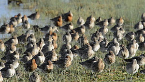 Black-tailed godwits (Limosa limosa) roosting and preening on the margins of a shallow freshwater lake, showing a mix of winter and summer plumage, Gloucestershire, England, UK, February.  -  Nick Upton