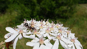 Black garden ant (Lasius niger) feeding on Common hogweed flowers (Heracleum sphondylium), Wiltshire, England, UK, July.  -  Nick Upton