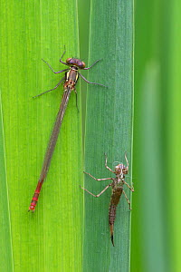 Large red damselfly (Pyrrhosoma nymphula) recently emerged from nymphal case (right), Brasschaat, Belgium. April  -  Bernard Castelein