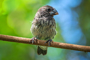 Medium ground finch (Geospiza fortis), recovering from introduced avian pox infection. Puerto Ayora, Santa Cruz Island, Galapagos, Ecuador  -  Tui De Roy