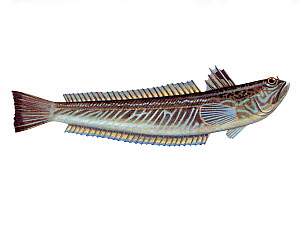 Illustration of Greater weever (Trachinus draco)  -  Chris Shields