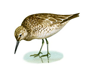 Illustration of Knot (Calidris canutus)  -  Chris Shields