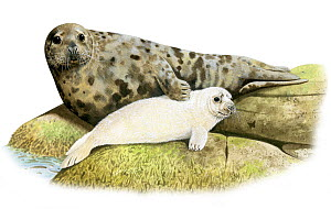 Illustration of Grey seal (Halichoerus grypus) mother and pup  -  Chris Shields