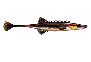 Illustration of Fifteen-spined stickleback (Spinachia spinachia)  -  Chris Shields