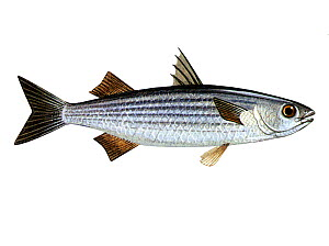 Illustration of Thick-lipped mullet (Chelon labrosus)  -  Chris Shields