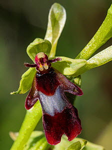Fly orchid (Ophrys insectifera) an inconspicuous orchid of woodland margins on limestone throughout Europe. Umbria, Italy. May.  -  Paul  Harcourt Davies