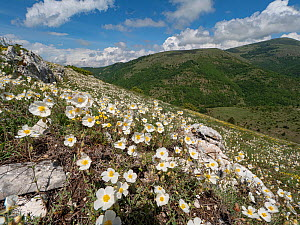 Apennine rockrose (Helianthemum appeninum) occurs in drifts in stony mountain pastures and at roadsides, Sibillini, near Norcia, Umbria, Italy. May.  -  Paul  Harcourt Davies