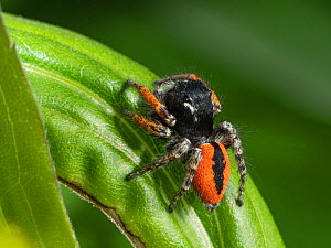 Jumping spider (Philaeus chrysops) Umbria, Italy, May.  -  Paul  Harcourt Davies