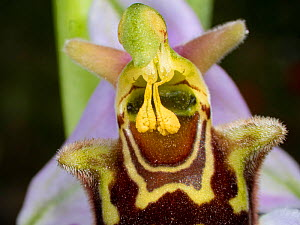 Bee orchid (Ophrys apifera) close up, showing pollinia, Umbria, Italy, May. Self pollinating species  -  Paul  Harcourt Davies