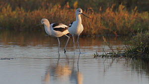American avocets (Recurvirostra americana) feeding in a salt marsh, Bolsa Chica Ecological Reserve, Southern California, USA, November.  -  John Chan