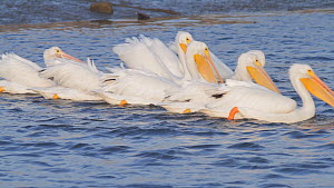 American white pelicans (Pelecanus erythrorhynchos) engaging in cooperative foraging, Bolsa Chica Ecological Reserve, Southern California, USA, November.  -  John Chan