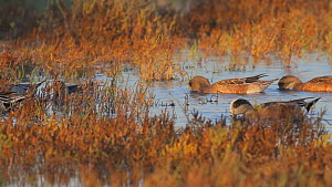 American wigeons (Mareca americana) and Northern pintails (Anas acuta) foraging in a salt marsh, Bolsa Chica Ecological Reserve, Southern California, USA, November.  -  John Chan