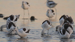 American avocets (Recurvirostra americana) foraging in a saltmarsh, Bolsa Chica Ecological Reserve, Southern California, USA, October.  -  John Chan