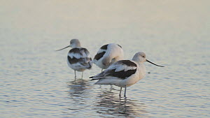 American avocets (Recurvirostra americana) roosting and preening in a salt marsh, Bolsa Chica Ecological Reserve, Southern California, USA, October.  -  John Chan