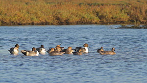 Northern pintails (Anas acuta) roosting and preening in a salt marsh, Bolsa Chica Ecological Reserve, Southern California, USA, October.  -  John Chan