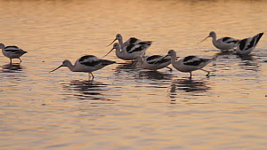 American avocets (Recurvirostra americana) feeding in a salt marsh, Bolsa Chica Ecological Reserve, Southern California, USA, October.  -  John Chan