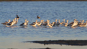 American avocets (Recurvirostra americana) taking flight from a saltmarsh, Bolsa Chica Ecological Reserve, Southern California, USA, October.  -  John Chan