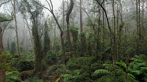 Drone shot of misty forest, Monga National Park, New South Wales, Australia, 2019  -  David Gallan