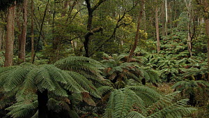 Drone shot of Soft tree ferns (Dicksonia antarctica) in forest, Monga National Park, New South Wales, Australia, 2019.  -  David Gallan