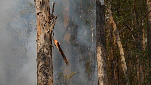 Slow motion clip of burning bark falling from a Coastal greybox (Eucalyptus bosistoana) during a bushfire, Currowan State Forest, New South Wales, Australia, January 2020.  -  David Gallan