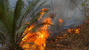 Burrawang (Macrozamia communis) burning during a backburn operation by firefighters trying to control bushfire spread, Currowan State Forest, New South Wales, Australia, January 2020.  -  David Gallan