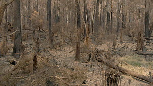 Drone shot of burnt forest floor after a bushfire, Monga National Park, New South Wales, Australia, January 2020.  -  David Gallan