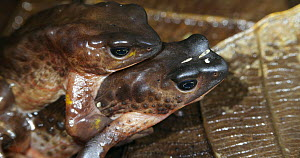 Pair of Jambato toads (Atelopus ignescens) in amplexus, part of a captive breeding program, Ecuador. Critically endangered. Controlled conditions..  -  Morley Read