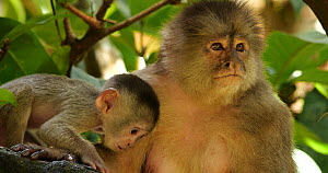 Female White-fronted capuchin (Cebus albifrons) with baby, Ecuador.  -  Morley Read