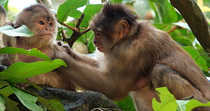 Female White-fronted capuchin (Cebus albifrons) grooming a younger female, accompanied by a baby, Ecuador.  -  Morley Read