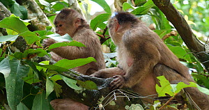 Female White-fronted capuchin (Cebus albifrons) grooming a younger female, Ecuador.  -  Morley Read